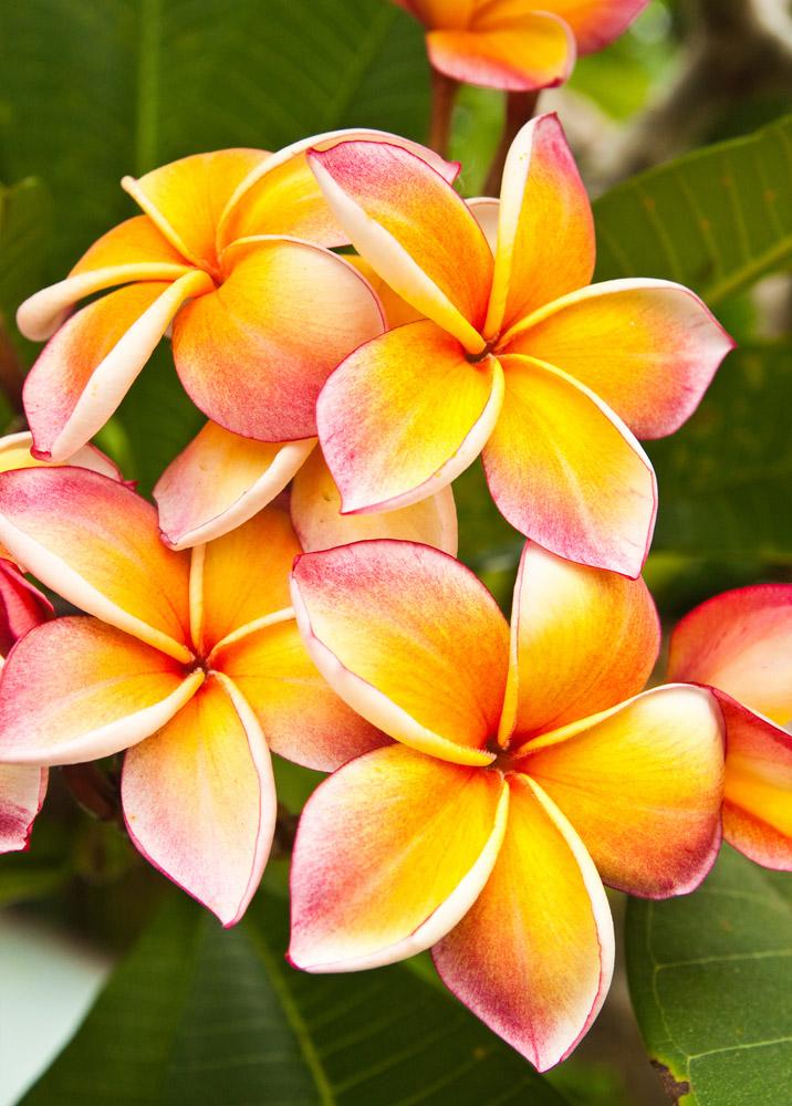 Плюмерия цветов